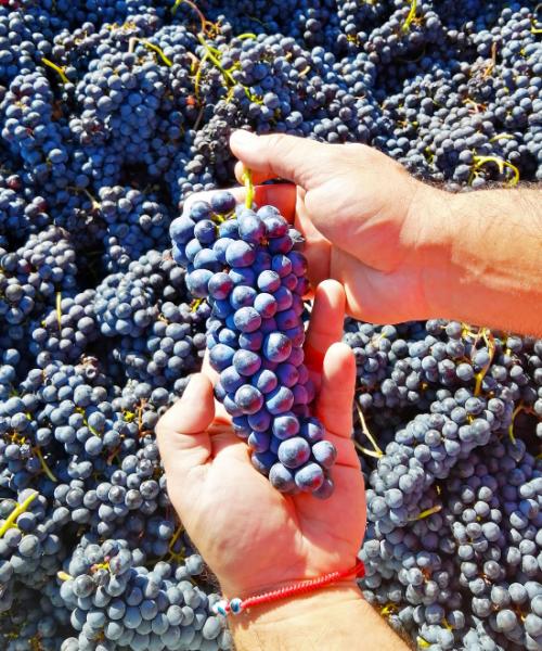 uvas de la viña